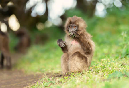 Close up of a baby Gelada monkey eating grass, Simien mountains, Ethiopia.