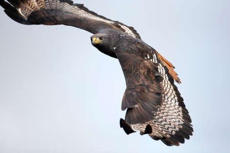 Close up of an Augur buzzard in flight, Ethiopia.