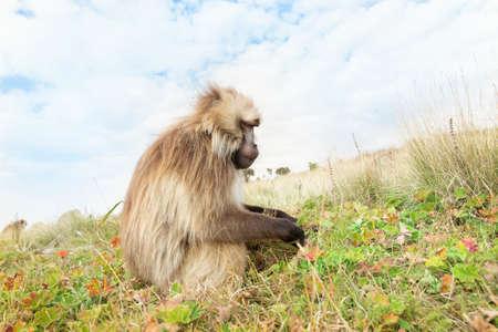 Close up of female Gelada monkey (Theropithecus gelada) grazing in Simien mountains, Ethiopia. Stock Photo