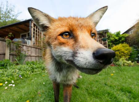 Portrait of a red fox (Vulpes vulpes) standing in the garden, United Kingdom.