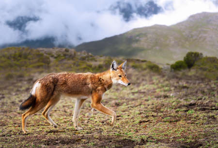 Rare and endangered Ethiopian wolf (Canis simensis) walking in the highlands of Bale mountains, Ethiopia.