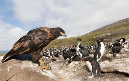 Close-up of Striated Caracara perched on a rock and watching colony of penguins and cormorants during their breeding season, Falkland Islands.