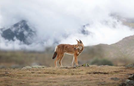 Close up of a rare and endangered Ethiopian wolf (Canis simensis) standing in the highlands of Bale mountains, Ethiopia.
