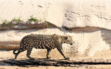 Close up of a Jaguar walking on a sandy river bank, North Pantanal, Brazil.