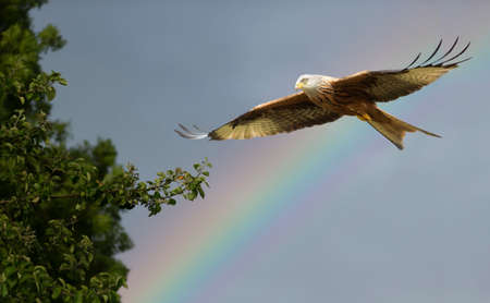 Close up of a Red kite in flight against a rainbow, UK.