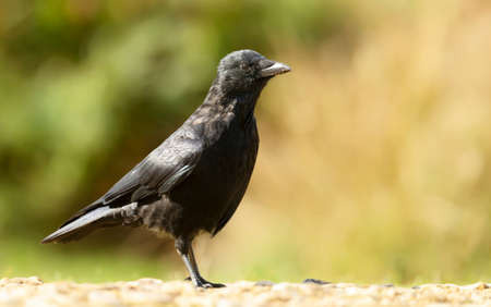Close up of a Carrion crow against clear colorful background, UK. Stock Photo