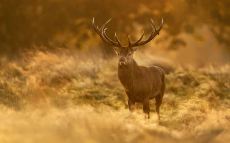 Red Deer (Cervus elaphus) stag at sunrise, UK. Banque d'images