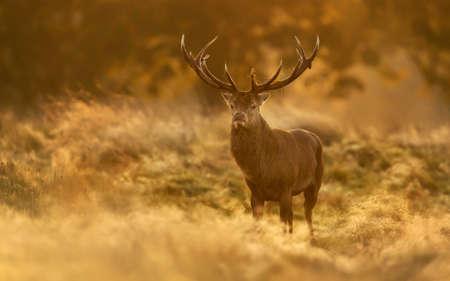 Red Deer (Cervus elaphus) stag at sunrise, UK. Banco de Imagens