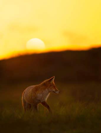 Close up of a red fox (vulpes vulpes) at sunset.