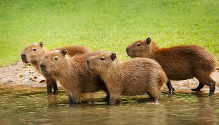 Group of baby Capybaras on a river bank, South Pantanal, Brazil.