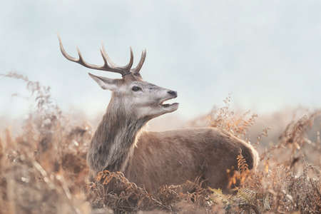 Close-up of a young red deer stag on a misty autumn morning, UK.