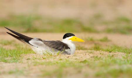 Close up of a Yellow-billed tern lying on a sandy river bank, Pantanal, Brazil.