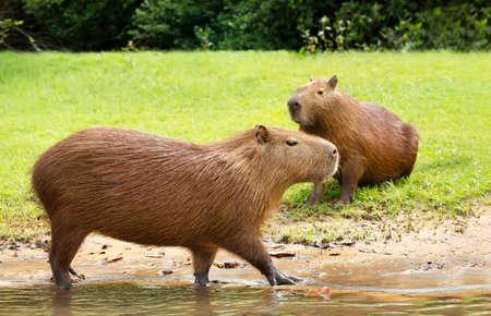 Close up of a Capybara walking in water on a river bank, South Pantanal, Brazil. Zdjęcie Seryjne