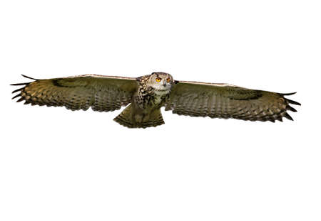 Close up of an Eagle Owl in flight on a clear white background.