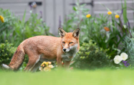 Close up of a red fox (Vulpes vulpes) standing by a flower bed in a garden, United Kingdom.