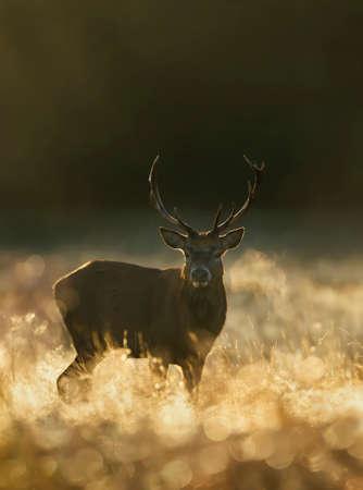 Red Deer (Cervus elaphus) stag at sunrise on a misty autumn morning, UK