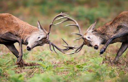 Closeup of Red deer stags fighting during rutting season in UK.
