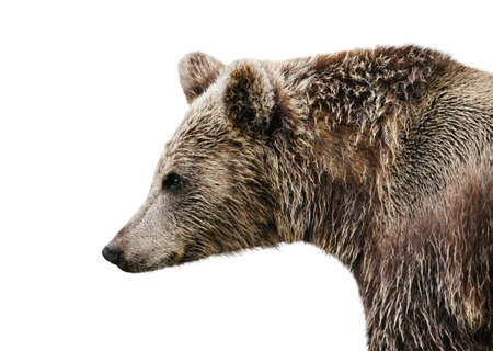 Close up of Eurasian brown bear against clear white background