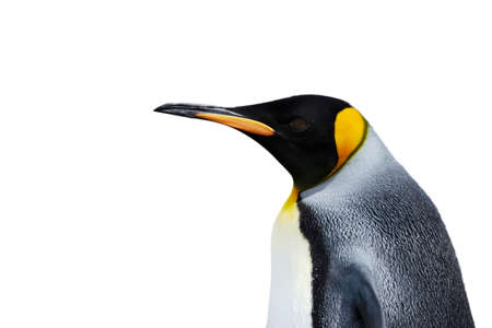 Close up of a King Penguin against white background.