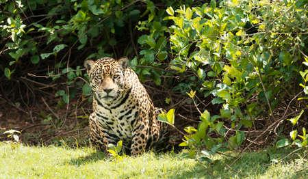 Close up of a Jaguar in South Pantanal, Brazil.