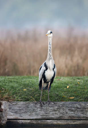 Close-up of a grey heron (Ardea cinerea) standing on a river bank on a misty autumn morning, UK.