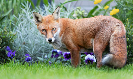Close up of a red fox (Vulpes vulpes) standing near flower bed in a garden, United Kingdom.