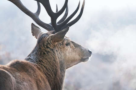 Close-up of a red deer stag on a misty autumn morning, UK.
