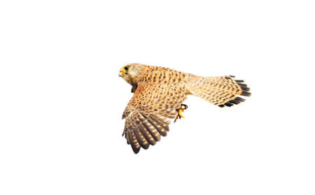 Close up of a common kestrel in flight against clear white background.