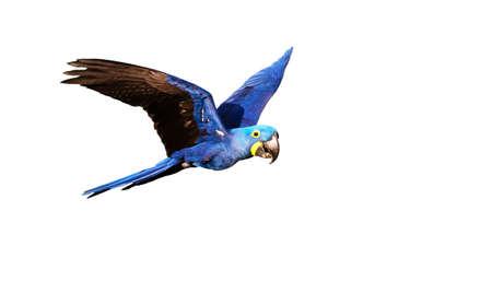 Hyacinth macaw in flight on isolated white background. Zdjęcie Seryjne