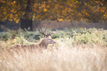 Close up of a Red deer (Cervus elaphus) standing under a tree during rutting season at dawn, autumn in UK.