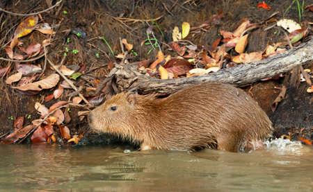 Close up of a baby Capybara on a river bank, South Pantanal, Brazil. Zdjęcie Seryjne