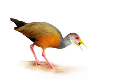 Close up of a little wood rail against clear white background.