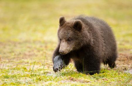 Close up of cute Eurasian Brown bear cub crossing a swamp, Finland.
