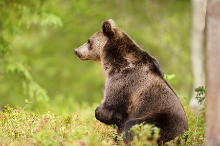 Close up of Eurasian Brown bear standing on rear legs, Finland.