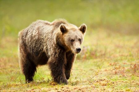 Close up of an Eurasian Brown bear standing in a swamp, Finland. Zdjęcie Seryjne