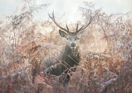 Portrait of a red deer stag in bracken on a misty autumn morning, UK. Zdjęcie Seryjne