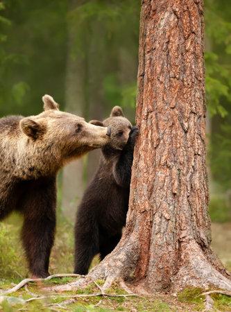 Close up of an Eurasian brown bear (Ursos arctos) watching her playful cub trying to climb a tree, Finland.