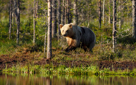 Brown bear by a pond in the Finnish forest.