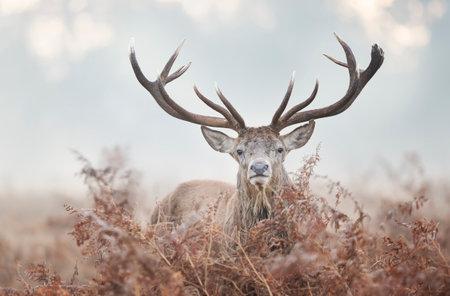 Portrait of a red deer stag on a misty autumn morning, UK. Zdjęcie Seryjne
