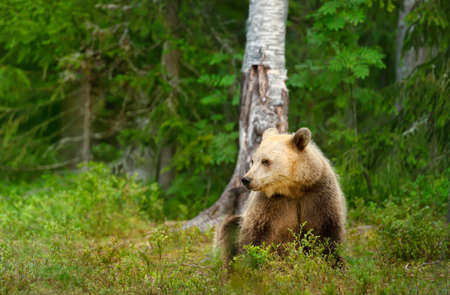Close up of Eurasian Brown bear sitting by a tree in forest, Finland. Zdjęcie Seryjne