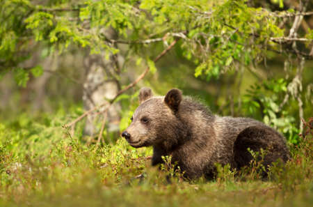 Close up of a cute small Eurasian Brown bear in forest, summer in Finland.