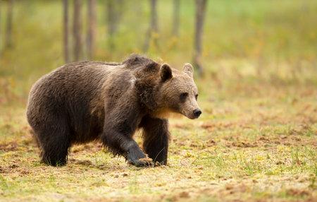 Close up of Eurasian Brown bear in swamp, Finland. Zdjęcie Seryjne