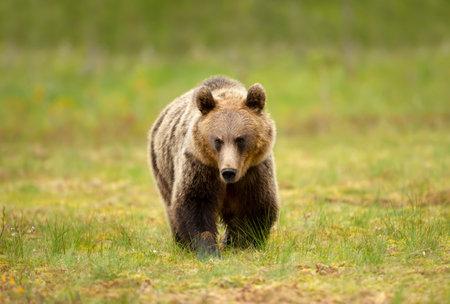 Close up of Eurasian Brown bear crossing a swamp, Finland.