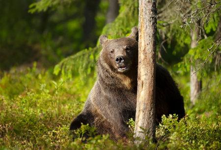 Close up of Eurasian Brown bear sitting behind a tree, Finland. Zdjęcie Seryjne