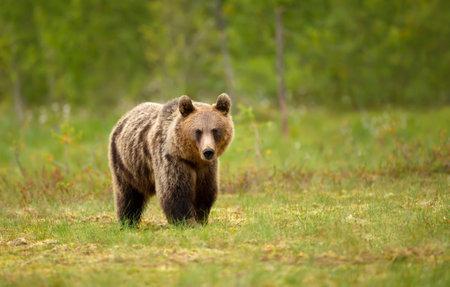 Close up of an Eurasian Brown bear standing in swamp, Finland. Zdjęcie Seryjne