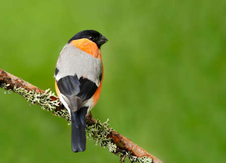 Close up of an Eurasian bullfinch (Pyrrhula pyrrhula) perched on a mossy branch against green background, Norway.