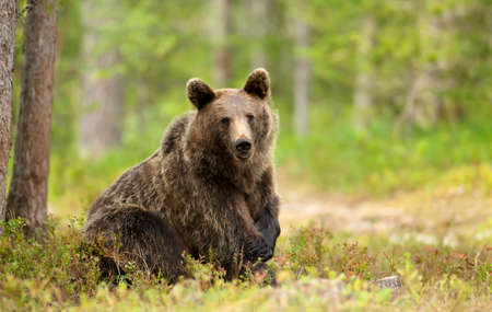 Close up of Eurasian Brown bear in forest, Finland.