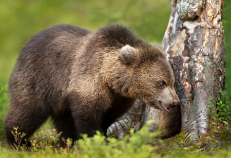 Close up of a young Eurasian Brown bear standing by a tree, Finland.