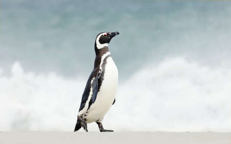 Close up of a Magellanic penguin walking on a sandy beach in the Falkland Islands.