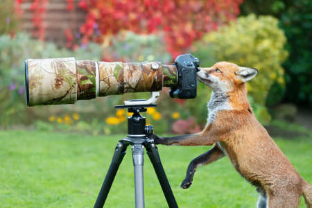 Close up of a red fox (Vulpes vulpes) curiously looking through a camera lens, United Kingdom. 免版税图像